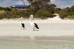Kangaroo-Island-star-beach-gallery-pelicans